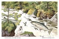 Chinook salmon (Oncorhynchus tschawytscha), Douglas fir (pseudotsuga menziesii)...