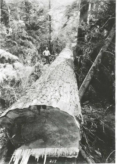 """Bucking"" is a logging process of sawing felled trees into shorter sections that can be hauled to a sawmill. The photo shows a logger, saw in hand, standing by the side of a recently felled fir tree., Courtesy of Oregon State Library"