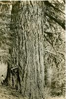 Largest known Douglas Fir (ca. 1939)
