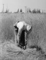 Man pulling and hand tieing sheaves of flax in field